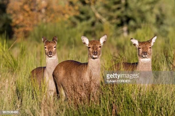 France, Haute-Saone , parc prive, Cerf Sika , femelles et jeunes.