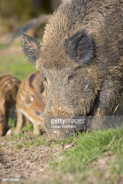 France, Haute-Saone , parc prive, sanglier , femelle et petits. France, Haute Saone, Private park, Wild Boar , sow and babies .