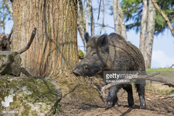 France, Haute-Saone , parc prive, sanglier , male. France, Haute Saone, Private park, Wild Boar , male.