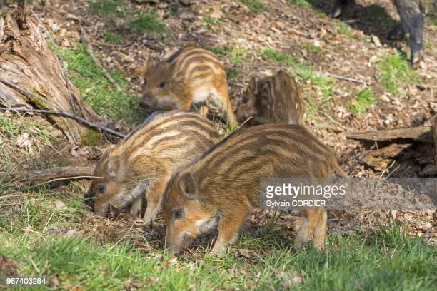 France, Haute-Saone , parc prive, sanglier , marcassins. France, Haute Saone, Private park, Wild Boar , piglets.