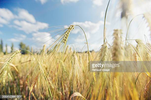france, ile de france, auvers-sur-oise, close-up of wheat field - oise stock photos and pictures