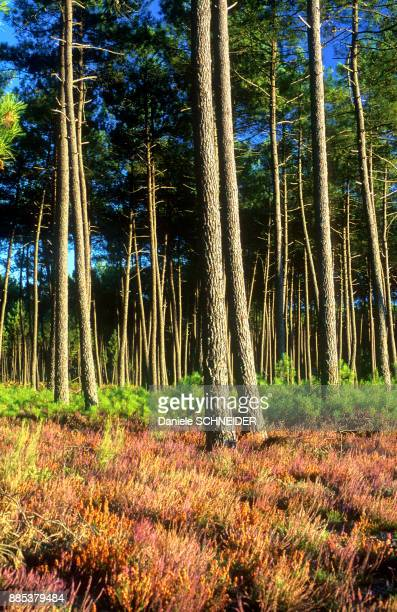 France, Landes, bed of red heather in Fall in a maritime pine forest