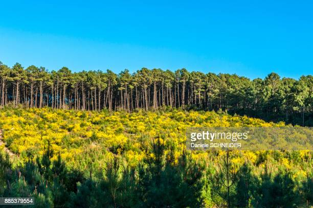 france, landes, oung maritime pines and yellow broom - pine woodland stock pictures, royalty-free photos & images