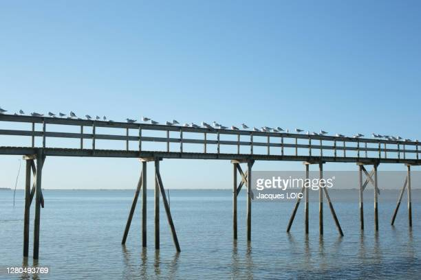 france, les moutiers-en-retz, 44, seagulls gathered on the pontoon of a fishery. - loire atlantique stock pictures, royalty-free photos & images