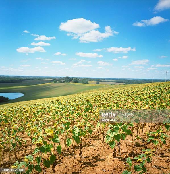 France, Midi-Pyrenees, Gascony, Gers, Demu, sunflower fields