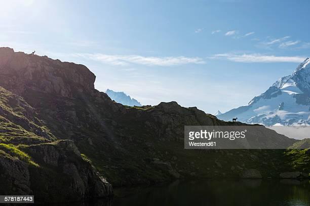 France, Mont Blanc, Lake Cheserys, Alpine Ibex on the ridge of a mountain