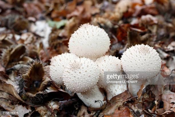 france, near paris, forest of malvoisine in autumn, close-up on mushrooms puffball - seta pedo de lobo fotografías e imágenes de stock