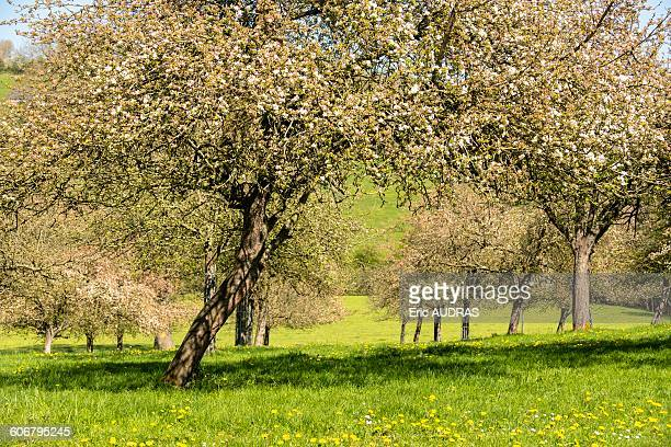 France, Normandy, apple trees in blossom