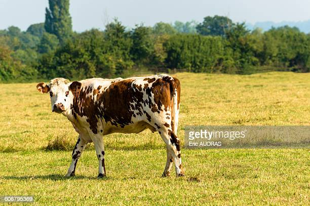 France, Normandy, cow in a meadow