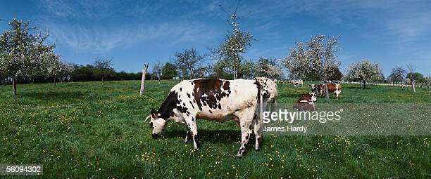 France, Normandy, cows grazing in green pasture.