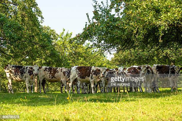 France, Normandy, herd of calves in a meadow