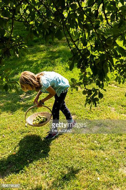 France, Normandy, little girl picking plums in a tree standing on a wooden scale with a basket on her arm