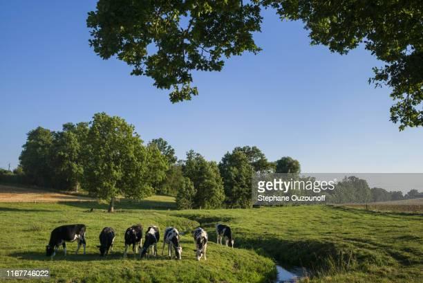 france, normandy, orne (61), pays d'ouche, herd of heifers in a meadow - haute normandie stockfoto's en -beelden