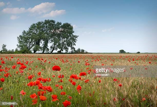 France, Normandy, Poppy field, Papaver rhoeas