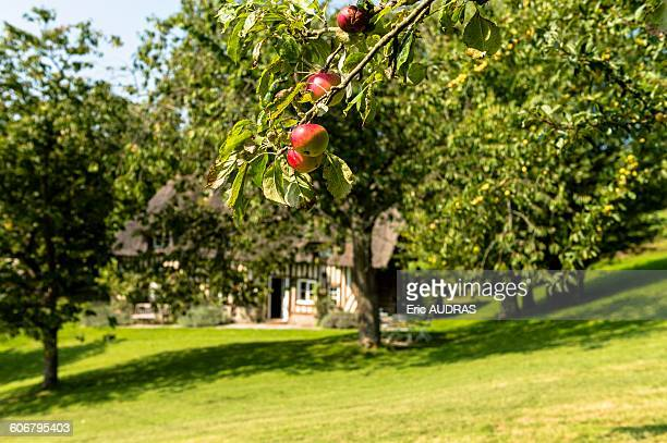 France, Normandy, red apples on an apple tree branch, old cottage in the back out of focus