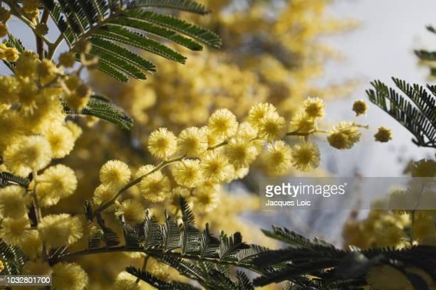 france, north-western france, brittany, les moutiers-en-retz, blooming mimosa - mimosa stockfoto's en -beelden