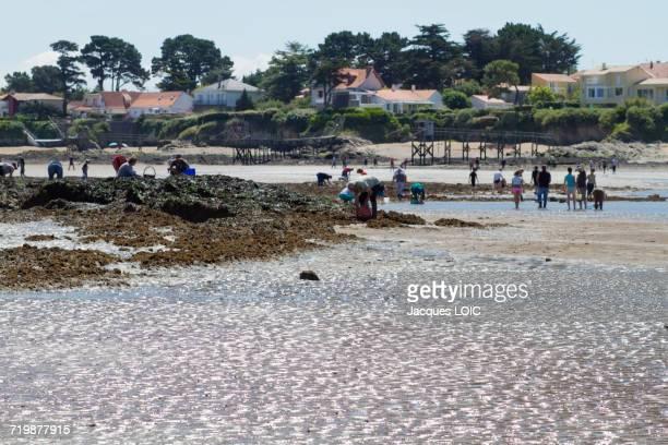 france, north-western france, la plaine-sur-mer, port giraud, gathering seafood by hand - loire atlantique photos et images de collection