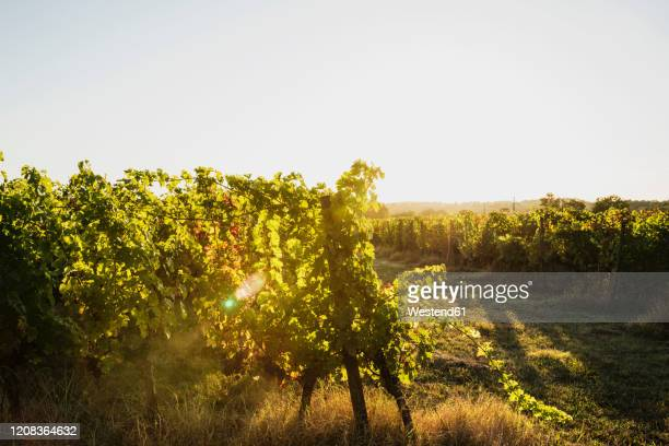 france, nouvelle-aquitaine, department gironde, bordeaux wine region, vineyard at sunset - gironde stock pictures, royalty-free photos & images