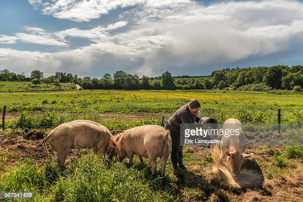 France, organic farmer feeding organic pigs