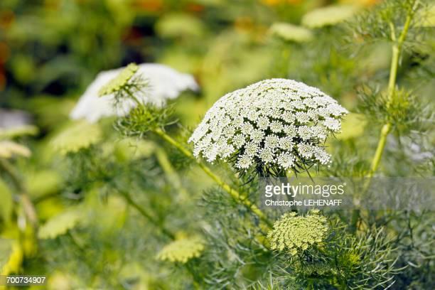 France, Paris. Val de Marne. Vincennes. Parc Floral de Vincennes. Valley of Flowers. Hogweed flowers