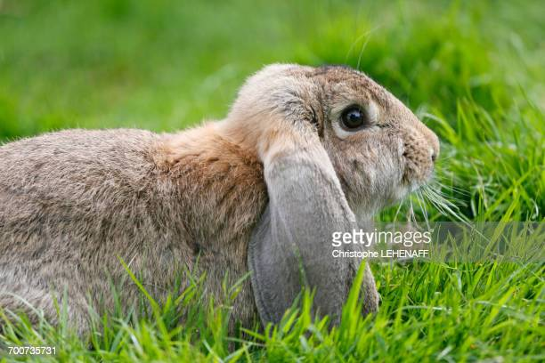 France, Paris. Vincennes. Bois de Vincennes. La Ferme de Paris. Organic agriculture and farming educational farm. Closeup of an organic rabbit.