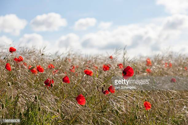 France, Picardy, Somme, Pont Remy, Red poppy flowers