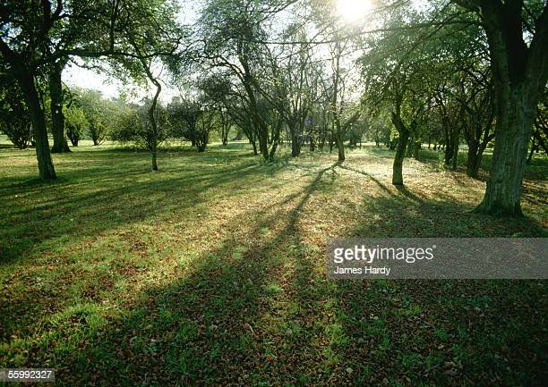france, picardy, trees in field with sun shining through branches. - oise stock photos and pictures
