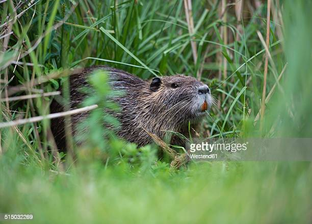 france, provence alpes cote d'azur, camargue, eurasian beaver, castor fiber, eating grass - beaver stock pictures, royalty-free photos & images