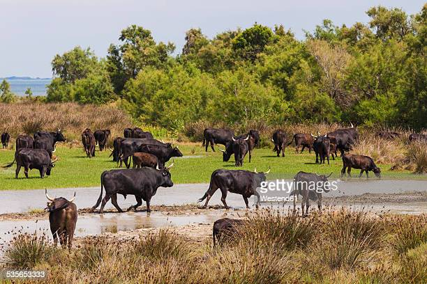 France, Provence, Camargue, herd of bulls at nature reserve