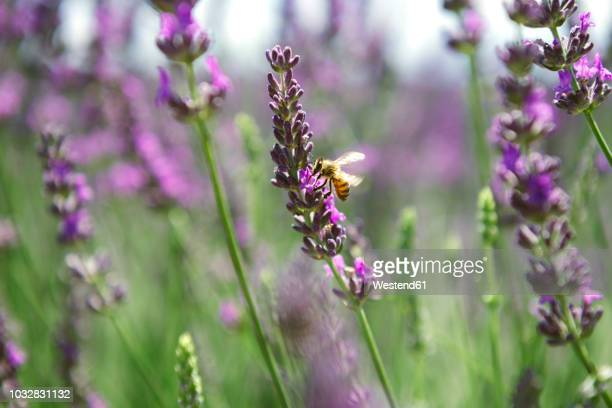 france, provence, close-up of bee on a lavender flower in the summer - insecte photos et images de collection