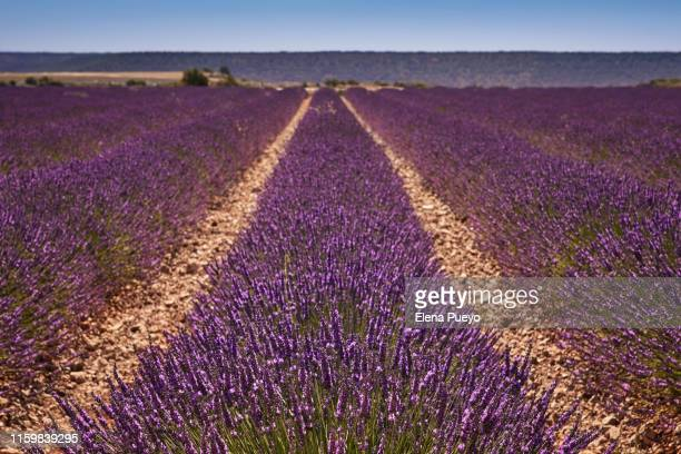 france, provence, lavender fields - elena blume stock-fotos und bilder