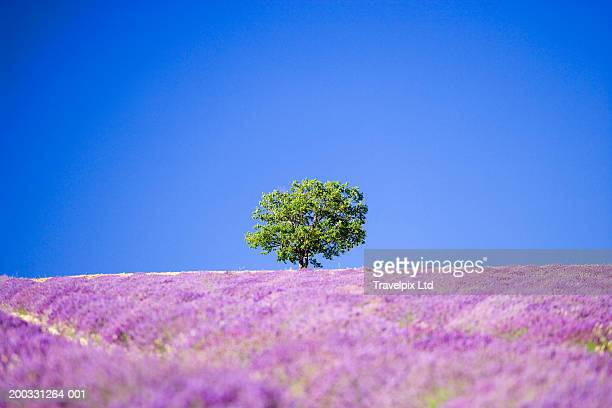 France, Provence, Valensole, walnut tree in lavender field