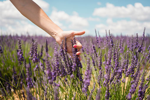 France, Provence, woman touching lavender bloosoms in field in the summer - gettyimageskorea