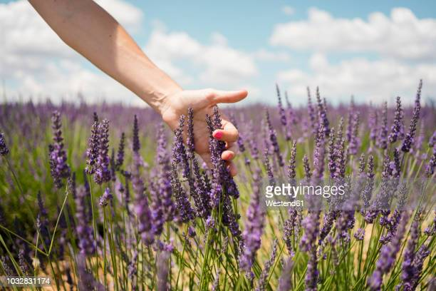 france, provence, woman touching lavender bloosoms in field in the summer - lavande photos et images de collection