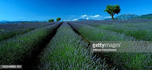 france, provence-alpes-cote d'azur, puimoisson, lavender field - alpes de haute provence stock photos and pictures