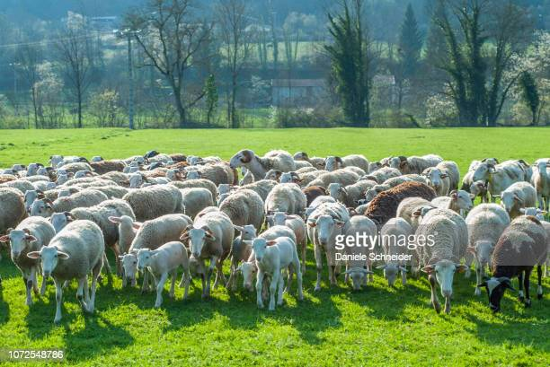 france, pyrenees ariegeoises regional nature park, vallee du garbet, ewe flock - mandria foto e immagini stock