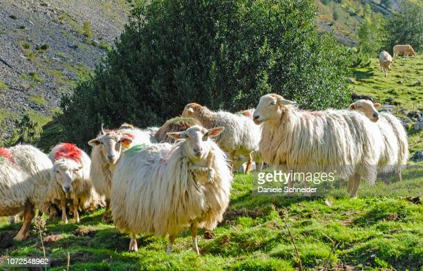 france, pyrenees national park, val d'azun, ewes in the vallee d'estaing - midi pyrénées stock photos and pictures