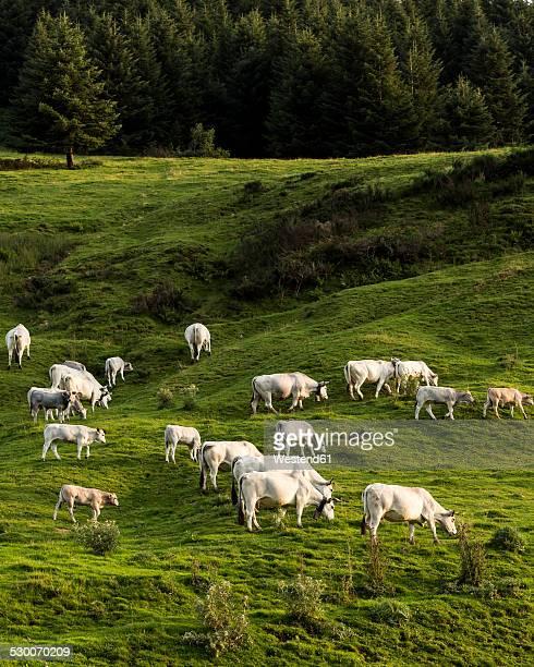 france, pyrenees, northern catalonia, col du port, cow pasture - bétail photos et images de collection