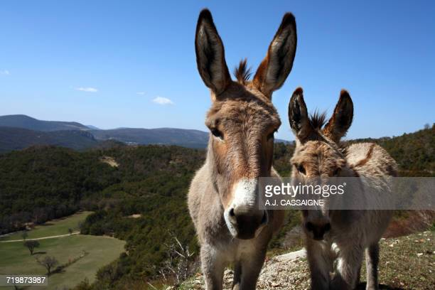 France, South-Eastern France, French Riviera, donkeys in the Esterel Massif
