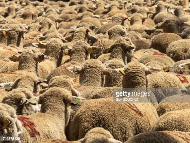 france, south-eastern france, st remy de provence, sheep transhumance - vertebras fotografías e imágenes de stock