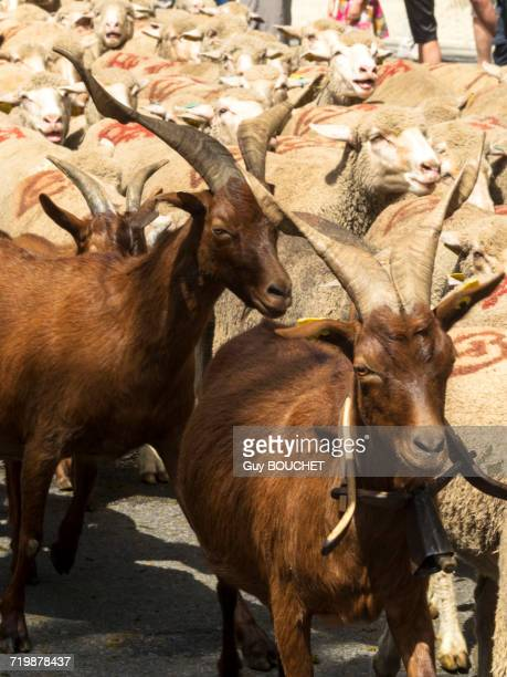 france, south-eastern france, st remy de provence, sheeps and goats transhumance - vertebras fotografías e imágenes de stock