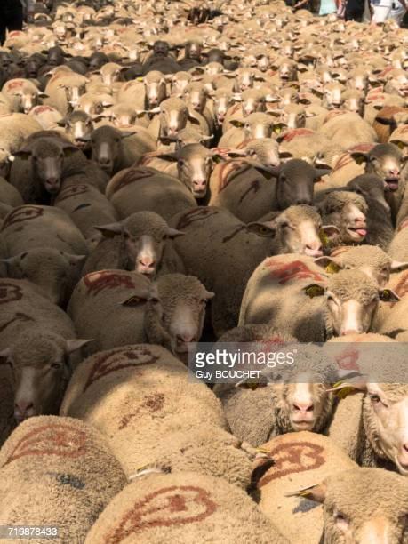 france, south-eastern france, st remy de provence, sheeps transhumance - vertebras fotografías e imágenes de stock