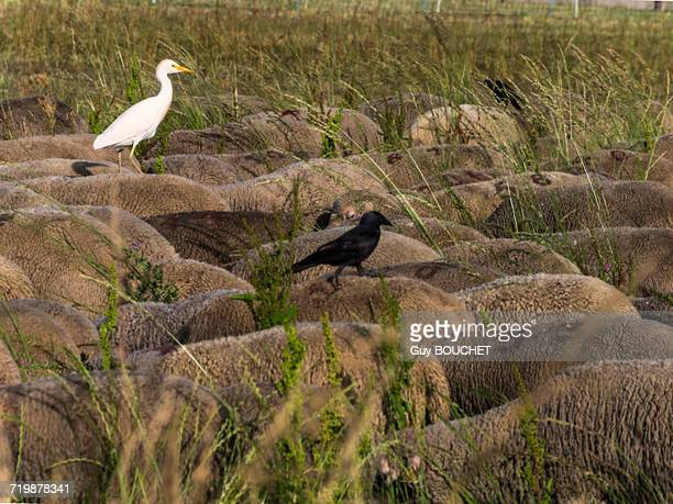 france, south-eastern france, st remy de provence, sheeps with birds on their backs - vertebras fotografías e imágenes de stock