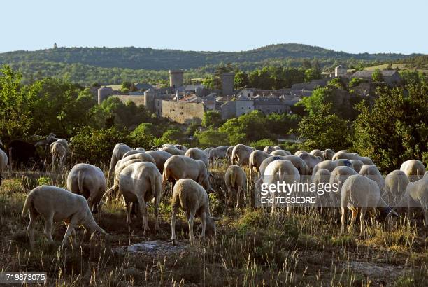 france, southern france, couvertoirade, ewe flock - aveyron stock pictures, royalty-free photos & images