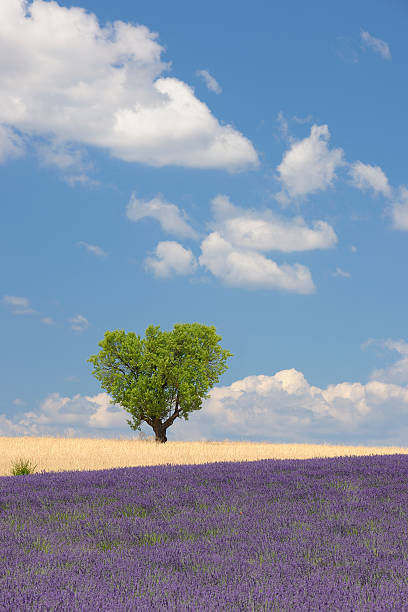 France, View Of Lavender Field With Tree Wall Art