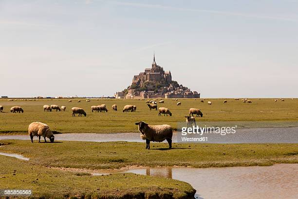 France, view to Mont Saint-Michel with grazing flock of sheep in the foreground