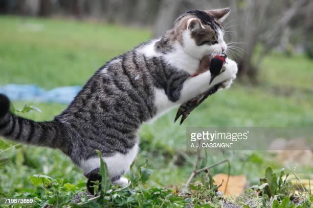 france, young tabby-cat hunting and killing a great spotted woodpecker - pica pau malhado grande - fotografias e filmes do acervo