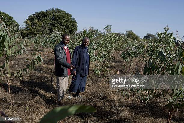 Francis Mahango age 74 a farmer grows trees to be used for Cook stoves supplied by Clean Development Mechanism on June 17 in Lusaka Zambia In his...