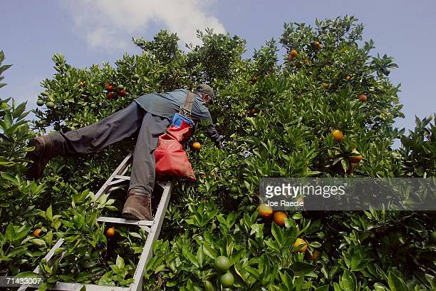 Francisco Hernandez who is in the US on an H2A guest worker visa picks oranges for Sorrells Brothers Packing Co Inc July 13 2006 in Arcadia Florida...