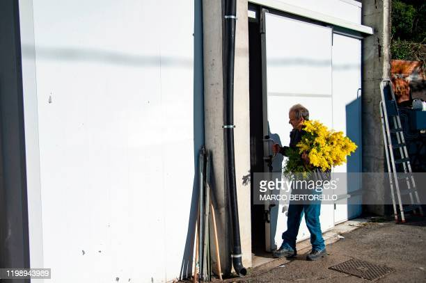 Franco Fogliarini president of the Cooperativa Agroflor stands with a bouquet of Mimosa flowers in front of a warehouse of the cooperative in Seborga...